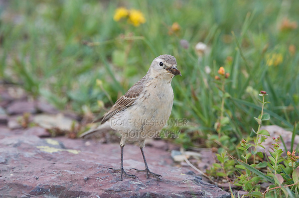 American Pipit, Anthus rubescens, adult with insect prey, Logan Pass, Glacier National Park, Montana, USA, July 2007