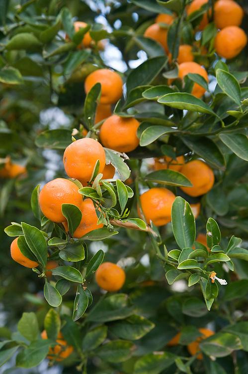 Mandarins, glasshouse, late March.