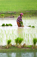 Planting Rice in the rural area near Battambang, Cambodia