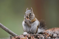 Pine Squirrel (Tamiasciurus hudsonicus), adult eating pine cone, Rocky Mountain National Park, Colorado, USA
