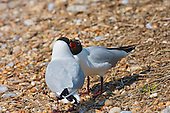 Black headed Gull (Chroicocephalus ridibundus) Begging for a meal. Possibly the female is the one begging a meal from the male. It seems to form part of the breeding ritual in addition to the habit where one will nest as the other brings in food. In this image the birds are away from the nesting site, and there is a lot of persistence by the begging bird for the partner to feed it. A thought might be this forms part of the process in getting ready to feed young. The sounds made are very similar to that made by young birds when begging a meal.