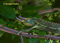 CH36-541z  Male Jackson's Chameleon or Three-horned Chameleon, Chamaeleo jacksonii