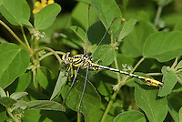 334120005 a wild male sulphur-tipped clubtail gomphus militaris perches on a plant leaf in southeast metropolitan park in austin travis county texas