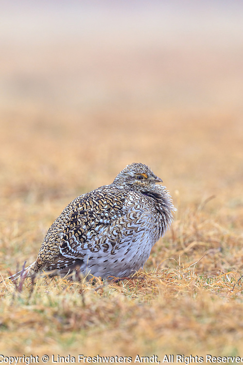 Sharp-tailed grouse resting on a lek in Namekagon Barrens.