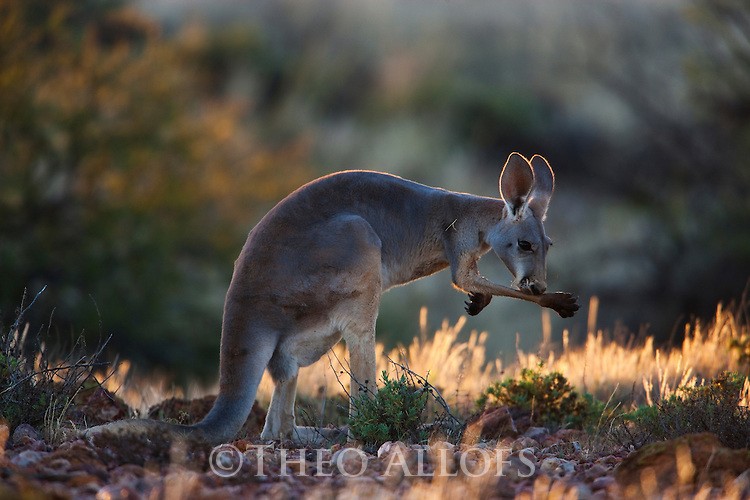 Australia,  NSW, Sturt National Park; red kangaroo female licking arm to cool off on very hot day (Macropus rufus); the red kangaroo population increased dramatically after the recent rains in the previous 3 years following 8 years of drought