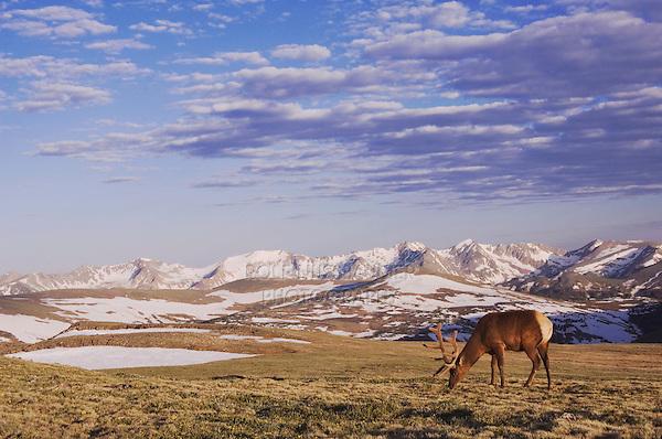 Elk, Wapiti, Cervus elaphus,bull in velvet grazing on alpine tundra,Rocky Mountain National Park, Colorado, USA