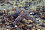 Forbes sea star on small cobble bottom.