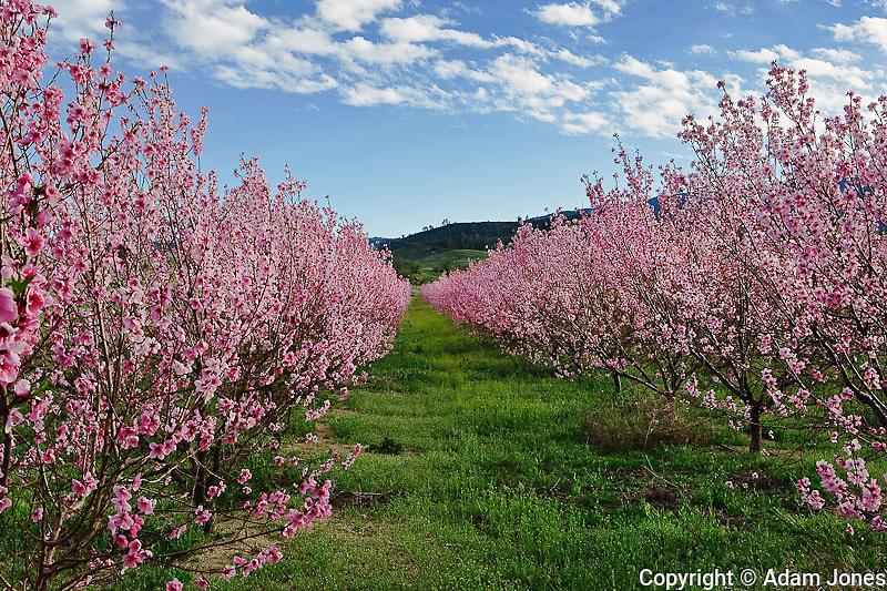 Peach tree orchard in full bloom, Lancaster, California