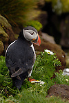 A portrait of an Atlantic puffin on a rocky perch in Iceland.