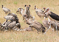 Vultures and Hyena Gathering to Feed