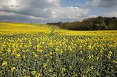 Oilseed Rape crop