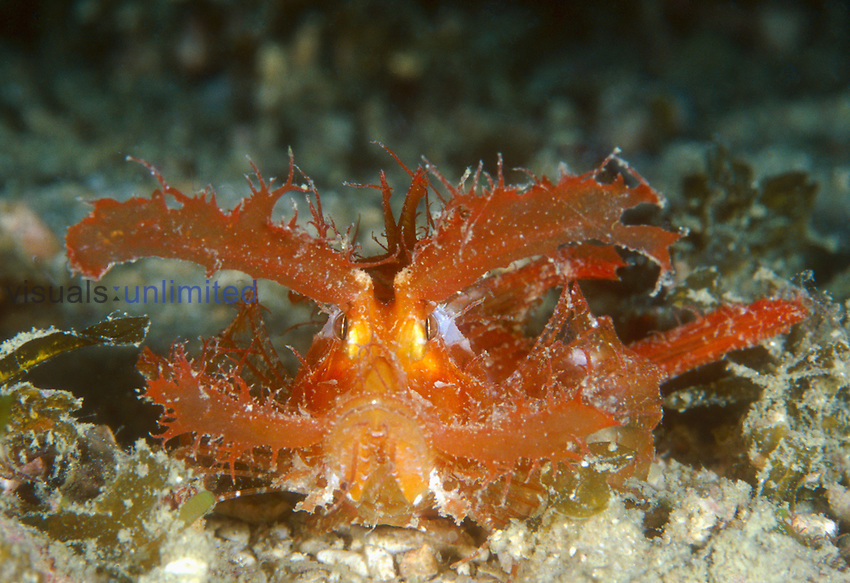 Ambon Scorpionfish (Pteroidichthys amboinensis), a small scorpionfish characterized by very long drooping skin flaps above the eyes, Milne Bay, Papua New Guinea.<br />