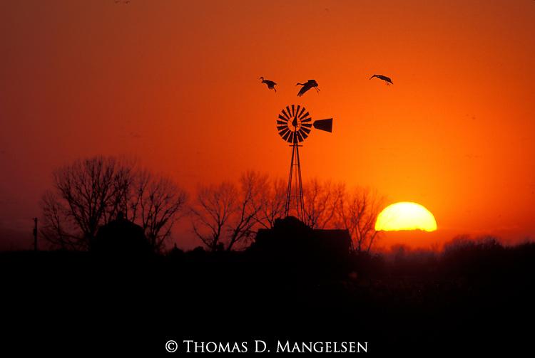 Sandhill Cranes flying over a windmill at sunset near the Platte River, Nebraska.