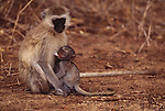 A vervet monkey nurses her baby in Lake Manyara National Park, Tanzania.
