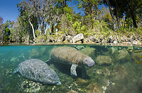 An over and under view of two Florida manatees, Trichechus manatus latirostris, Crystal River, Florida, USA
