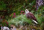 Bald eagle among kamchatka rhododendron, Unalaska island, Alaska