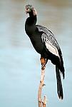 Anhinga, Anhinga anhinga, perched on branch over water, Florida Everglades. .USA....