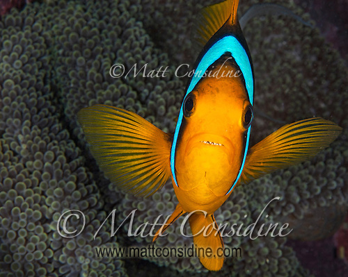 Clark's Anemone Fish, Yap Micronesia (Photo by Matt Considine - Images of Asia Collection) (Matt Considine)