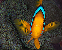 Clark's Anemone Fish, Yap Micronesia (Photo by Matt Considine - Images of Asia Collection)