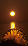Portugese Man-O-War Jellyfish (Physalia physalis) washed ashore at twilight, John Pennekamp Coral Reef State Park, Florida, USA.