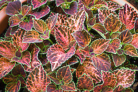 (Solenostemon) Coleus 'Wizard Pastel', annual ornamental foliage plant in pink salmon and green edged leaf colors