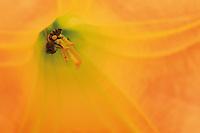 Une abeilles africanisée se gorge de nectar et récolte du pollen dans une fleur de datura arborea genus.///An Africanized bee gorges itself on nectar and gathers pellets of pollen from a flower of the datura arborea genus.