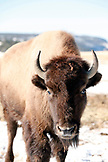USA, Utah, Zion Mountain Ranch located on the Zion-Mount Carmel Highway, Mount Carmel, bison in the snow