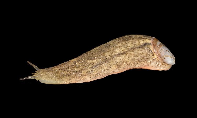 Atlantic Shelled Slug - Testacella maugei