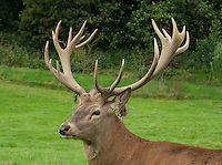 Red Deer stag at the Bowland Wild Boar Park, Chipping, Preston, Lancashire.