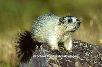 02003-00106 Hoary Marmot (Marmota caligata) Glacier NP   MT