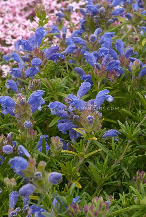 Dracocephalum argunense 'Fuji Blue'