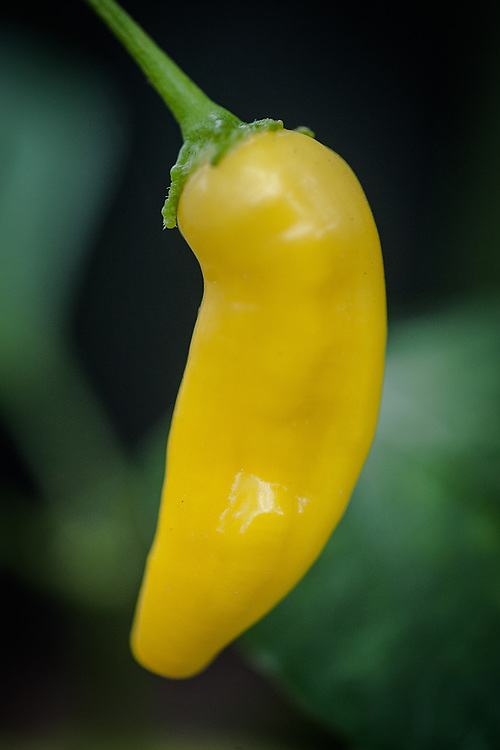 Chilli 'Peruvian Lemon Drop', mid September. A very hot yellow Aji chilli with a strong lemon flavour.