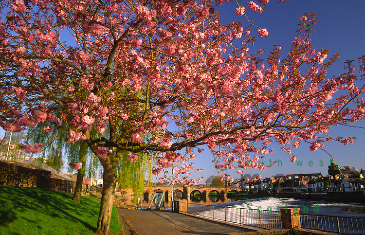 Early morning light on spring cherry blossom looking up to Caul and Devorguilla Bridge and across the River Nith to the Whitesands Dumfries Scotland UK