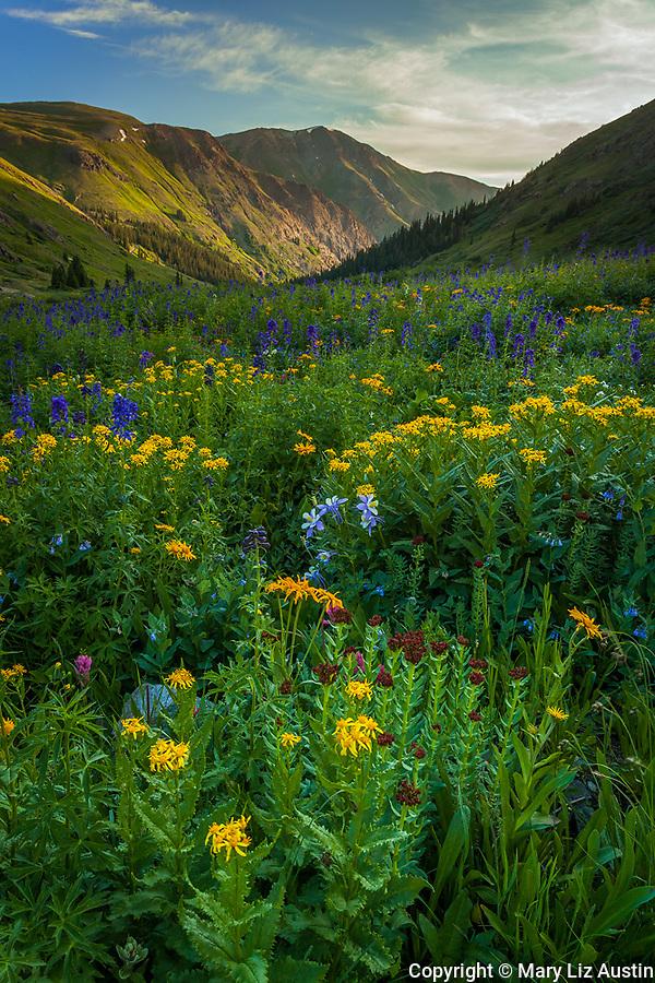 San Juan Mountains, CO: Wildflower meadows with sneezeweed (Dugaldia hoopesii), delphinium (Delphinium barbeyi), Colorado columbine (Aquilegia coerulea) and king's crown (Rhodiola integrifolia) from American Basin with late afternoon light