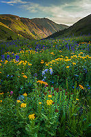 San Juan Mountains, CO: Wildflower meadows with sneezeweed (Dugaldia hoopesii), delphinium (Delphinium barbeyi), Colorado columbine (Aquilegia coerulea) and king's crown (Rhodiola integrifolia) from American Basin with late afternoon light