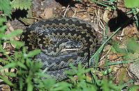 Kreuzotter, Kreuz-Otter, Otter, Viper, Vipera berus, adder, common viper, common European viper