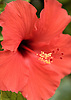 A red hibiscus on the grounds of the Ritz-Carlton, Kapalua, on Maui, Hawaii. Photo by Kevin J. Miyazaki/Redux