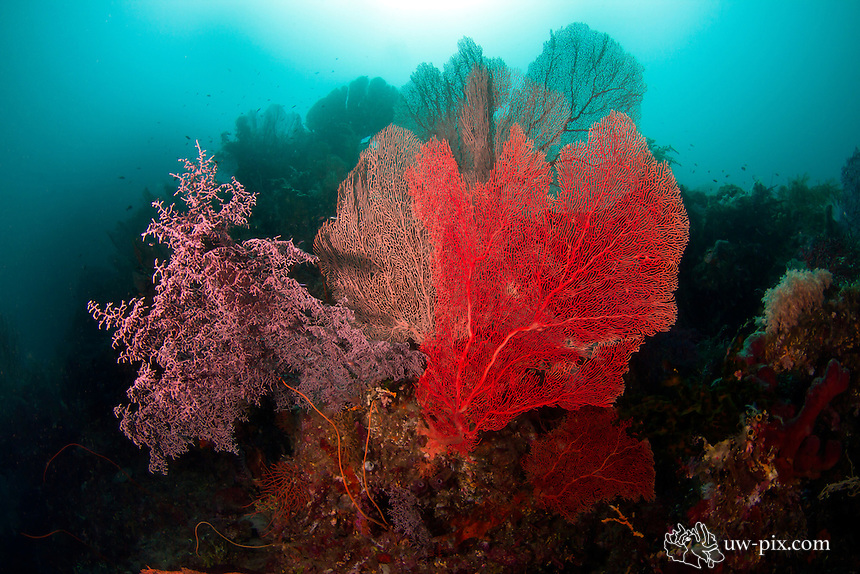 3 types of pygmy seahorse Gorgonian fans at  Misool - Raja Ampat.<br /> These are the 3 different types of Gorgonian fans where there are sometimes pygmy seahorses living on.<br /> from left to right, Muricella plectana fan, host for Hippocampus bargibanti, on the middle one, the Annella reticulata, there is usually the Hippocampus denise and on the right one, the Melithaea ochracea, there is sometimes the Hippocampus spp., which you can only find in the south of Raja Ampat - Indonesia (some people say it is a color variation of Hippocampus denise, but it is far more active, and the warts on them are much bigger)