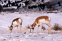 673088516 a wild male and  female pronghorn antelope antilocarpa americana feed on a snow covered field in yellowstone national park wyoming