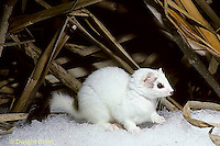 MA06-007x  Short-Tailed Weasel - exploring marsh for prey in winter - Mustela erminea