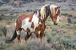 Picasso, a 28-year-old wild horse in the Sand Wash Basin Herd Management Area in northwestern Colorado.