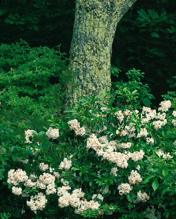 Mountain Laurel (Kalmia latifolia) in bloom on Skyline Drive; Shenandoah National Park, VA
