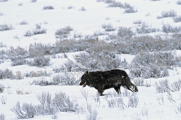 A wild gray wolf trots across snow covered Yellowstone landscape.  Winter.