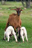 A mother goat lets her kids suckle on a farm near Temple, Texa