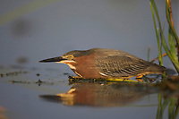 Green Heron (Butorides virescens), Sinton, Corpus Christi, Coastal Bend, Texas, USA