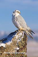 00817-002.15 Gyrfalcon (Falco rusticolus) white phase