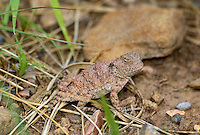 437580001 a juvenile hernandezs short-horned lizard phrynosoma hernandesi hernandesi sits among grasses in catron county new mexico