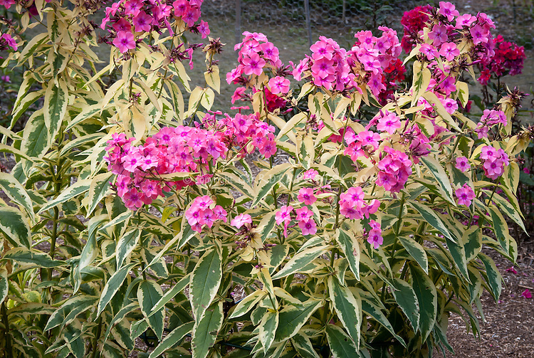 Phlox paniculata 'Becky Towe' (117) variegated garden phlox with pink fragrant flowers, perennial plant in bloom