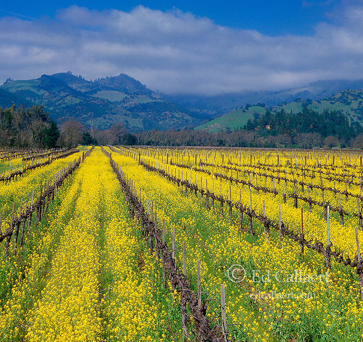 Mustard, Vines, Mount St. Helena, Napa Valley, California