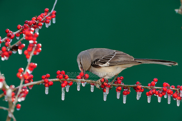 Northern Mockingbird (Mimus polyglottos), adult eating on ice covered Possum Haw Holly (Ilex decidua) berries, New Braunfels, San Antonio, Hill Country, Central Texas, USA